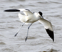 Avocet decending (keithhull) Tags: bird flight waterbird avocet rspb blacktoftsands explorewinnersoftheworld seeninexplore252011180
