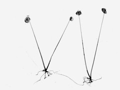 Rhizopus (Ricardo Rico) Tags: rhizopus zygomycota