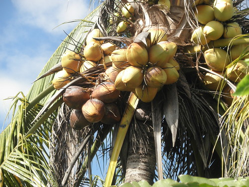 Bright, Tropical MYD Coconuts @ Malaysia