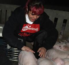 Rescate abierto de 4 cerdos