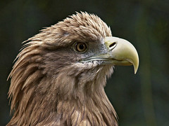 Sea eagle - Seeadler (pe_ha45) Tags: raptor erne greifvogel whitetailedeagle seeadler haliaeetusalbicilla pigargoeuropeo pygarguequeueblanche grandaigledemer guilamarina aiglebarbu guiladecolablanca