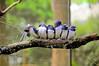 birds (picsie14) Tags: blue tree bird birds closeup interestingness interesting nikon branch wildlife birdwatching australianwildlife interestingness2 birdsofaustralia nativebirds d700 cutebirds lineofbirds niond700 bluebeaks silviapicello