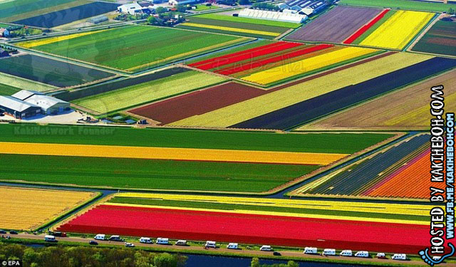 tulipsbloomHolland1