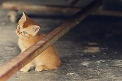 Critter # 26 (obo-bobolina) Tags: cat kitten critter kitty malaysia cherating