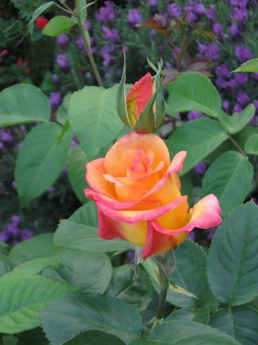 First rose spring 2011
