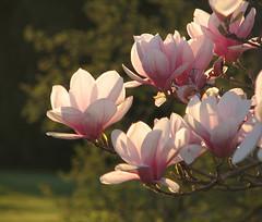 Finding  Spring (deu49097) Tags: flowers tree