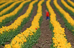 Mothers hold their children's hands for a short while, but their hearts forever... ('Carmen' {catching up!}) Tags: flowers red yellow spring dof heart tulips bokeh mothersday tulipfestival oneinamillion yellowtulips happymothersday redtulip tuliprows bokehpeep