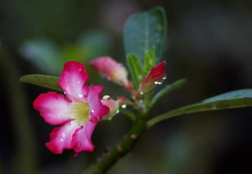 frangipani (29/365 dps)