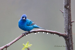 _53F4797 Indigo Bunting (~ Michaela Sagatova ~) Tags: blue bird nature rain perched dundas indigobunting passerinacyanea birdphotography dvca michaelasagatova