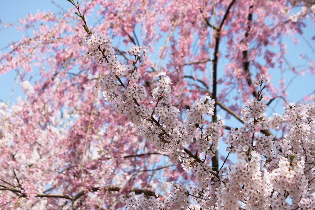 Hirosaki Park Sakura (11)
