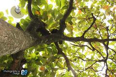 Árbol (Photography&Design) Tags: naturaleza hojas madera flora plantas foto natural guatemala flor vida fotos árbol bella belleza tierra creciendo vivir florecer ecosistema viviendo expresar floreciendo expresarvivir