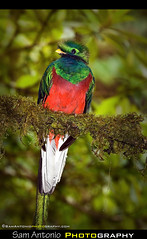 Having a Resplendent Time in Monteverde, Costa Rica (Sam Antonio Photography) Tags: portrait color bird nature costarica colorful wildlife birding explore tropical monteverde cloudforest centralamerica quetzal canon100400 resplendentquetzal birdphotography canon5dmkii samantoniophotography samantoniophotographycom