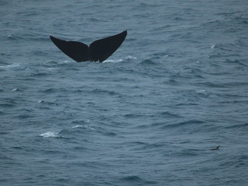 From flickr.com: Southern Right Whale {MID-135146}
