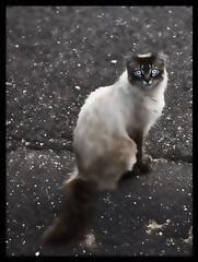 Se non puoi uscire,passo io. (Alessandro Massimiliani) Tags: blackandwhite bw animal cat felino gatto animali animale biancoenero 2011 2352010
