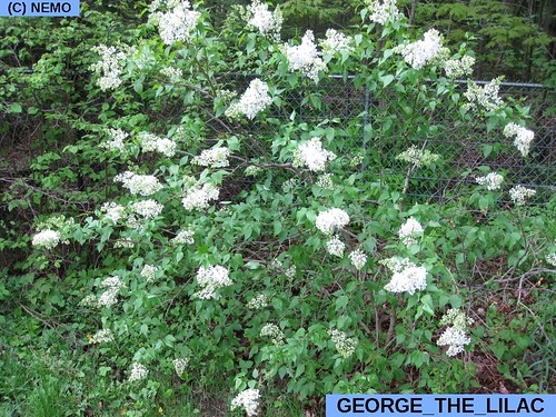 george_the_lilac