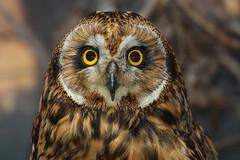 Coruja do nabal (Mago62) Tags: portugal aves ave shortearedowl asioflammeus mariogomes corujadonabal specanimal parquebiológicodegaia mago62