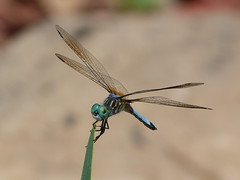 Summer Wings (jakesangel) Tags: blue summer macro pond dragonfly tennessee dasher backyardshot