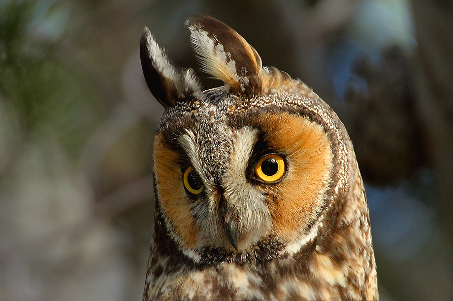 Long-eared-Owl-051102