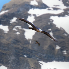 As close as I can get to a Bearded Vulture (Bn) Tags: park blue shadow sky sun snow mountains alps bird nature water walking airplane geotagged heidi austria golden waterfall spring high woods topf50 rocks king eagle hiking wildlife altitude falls adventure evergreen alpine national valley goldenvalley vulture airlines spar higher spruce larvae finest seekers steep birdofprey marmots hohe highest rauris gier lariks unspoilt tauern 50faves krumltal rauristal bartgeier lammergeier beardedvulture gypaetusbarbatus lammergier reintroduced kruml kingofthealps dastaldergeier taldergeier valleyofvultures schaflegerkopf 2788m thekingsoftheair baardgier max10000meterhigh geo:lon=12923804 geo:lat=47103767