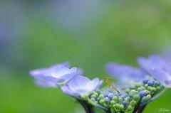 (miwa**) Tags: flower macro bug mantis insect nikon hydrangea nikkor kanagawa miwa 紫陽花 2011 d90 105mmf28dmicro nikond90