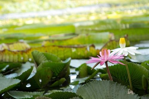 20110620白河蓮花季-5670