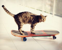 MisKet-Having Fun (E.L.A) Tags: pets horizontal standing cat turkey photography funny europe day tabby humor fulllength kittens nopeople istanbul indoors skateboard balance sideview domesticanimals domesticcat gettyimages yawning mouthopen selectivefocus oneanimal colorimage animalthemes pamperedpets bestcatphotos