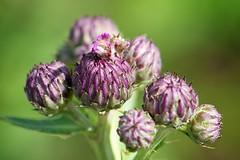 Emerging Canada thistle flower (Dean Gulstad) Tags: