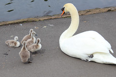Mute Swans (Andy2982) Tags: swan muteswan cygnusolor anatidae europe asia seftonpark liverpool