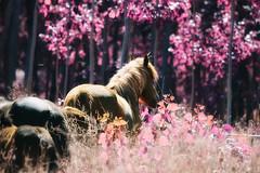 """En cherchant mon chevalier..,."" (Ilargia64 (back again!)) Tags: horses fairyland dreamland pink light nature forest bokeh animal blur wildlife chevaux caballos"