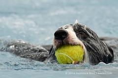 Anyone for tennis? ( Freddie) Tags: kent detling kentcountyshowground pawsinthepark dashnsplash dog collie bordercollie