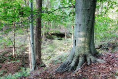 Beech Tree Roots (Flickr Goot) Tags: october 2016 canon elph 330 hs powershot handheld hdr highdynamicrange malabarfarm ferguson falls morning