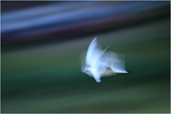Seagulls in Flight_003 (1) (cees van gastel) Tags: ceesvangastel seagulls zeemeeuwen birds vogels nature natuur flying vliegend ndevlucht speed snelheid beweging canoneos550d tamron70300mm