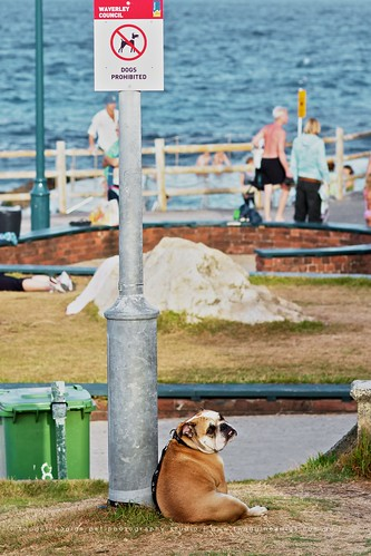 twoguineapigs pet photography decisive moment of a bulldog by bronte beach under the dogs are prohibited council sign