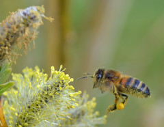 honey bee in flight (conall..) Tags: bee willow northernireland catkin apis mellifera salix osier apismellifera viminalis salixviminalis conallmccaughey