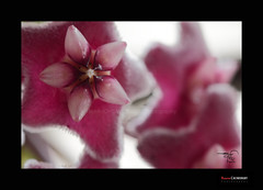 A star in Flower (HamimCHOWDHURY  [Re Joined 10 Sep 2014 ]) Tags: life red portrait blackandwhite white black green nature canon eos colorful faces blu sony surreal dhaka vaio rgb bangladesh dlsr 60d incrediblebengal 595036 framebangladesh gettyimagesbangladeshq2