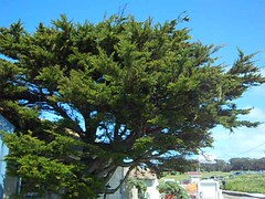 this tree was SO loud with birds (Kristin Johnson :: winifred|studios) Tags: california vacation pigeonpoint unclescott cali2011