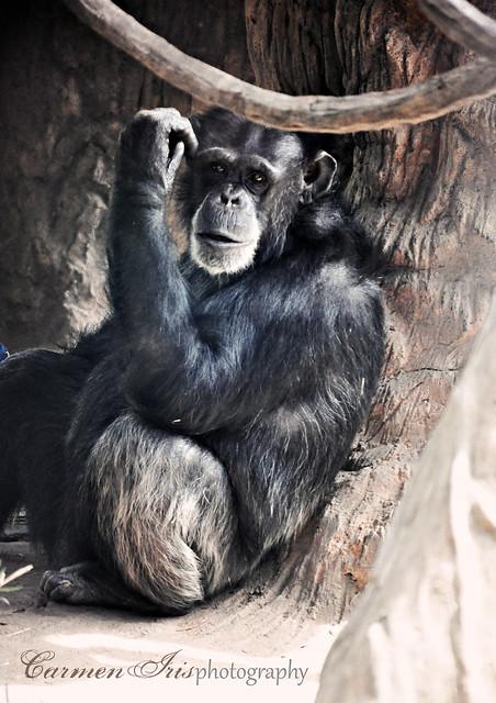 chimp I