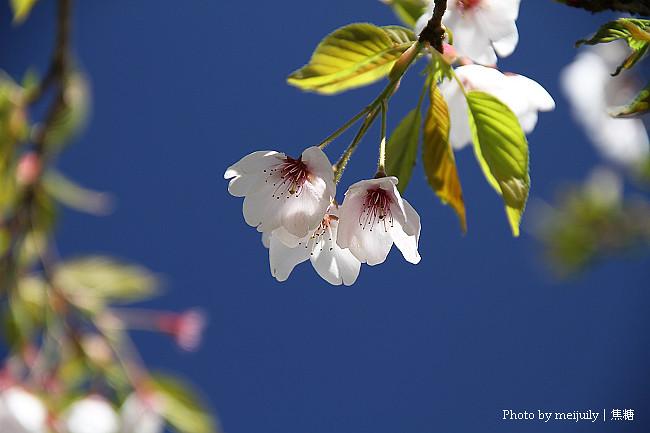 2011阿里山櫻花季晴天版13