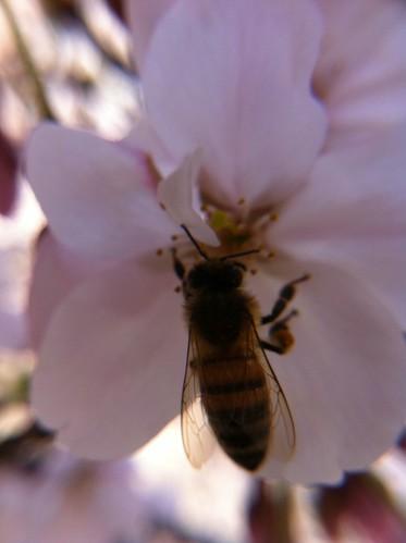 蜂と桜 ギズモンマクロレンズで接写