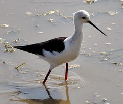 Black winged Stilt....Kenya (keithhull) Tags: africa bird kenya stilt amboseli wader blackwingedstilt selenkayconservancy natureselegantshots