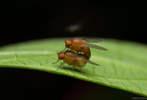 Fruit Fly - Mating