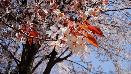 2011/04 平野神社 #08