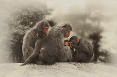 1986 : Singes japonais (macaques), Mont Misen, le de Miyajima, Japon. Canon A1. (PhF1) Tags: canona1 japon faune macaquejaponais montmisen tamron80210macro miyajjima singejaponaismacaque ledemiyajima