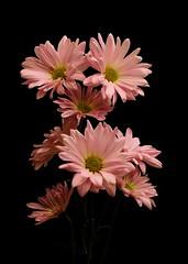 Pink Daisies (Oliver Leveritt) Tags: flower daisies flash daisy stofen sb800 offcameraflash sigmaapo70300mmf456dgmacro creativelightingsystem nikoncls nikond90 oliverleverittphotography