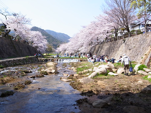 Sakura at Ashiya river