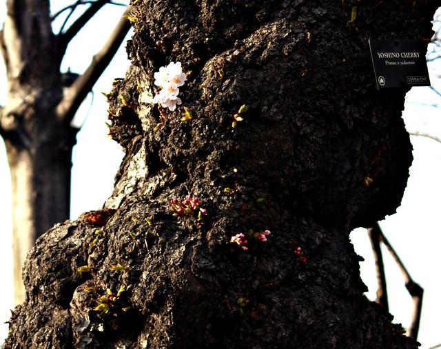 Yoshino Cherry Tree _MG_8080