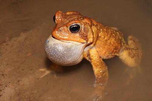 Anaxyrus americanus (American toad) calling