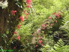 Asteranthera ovata, hbito (Chilebosque) Tags: gesneriaceae estrellita ovata trepadoras asteranthera asterantheraovata