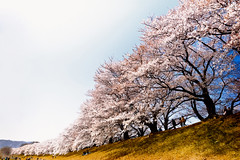 Row of Cherry Blossom Trees (moaan) Tags: leica digital kyoto bank row utata   cherryblossom sakura cherrytree m9 21mm 2011 superangulon f34 leicasuperangulon21mmf34  sewari fullblossom bankofariver leicam9 gettyimagessakura rowofcherrytrees yahatacity gettyimagesjapanq2