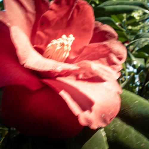 Shin Urayasu Camelia Flower